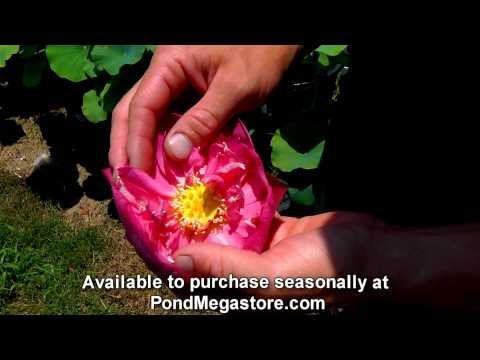 Lotus Apricot Pink water garden pond plants nelumbo chinese Lotus