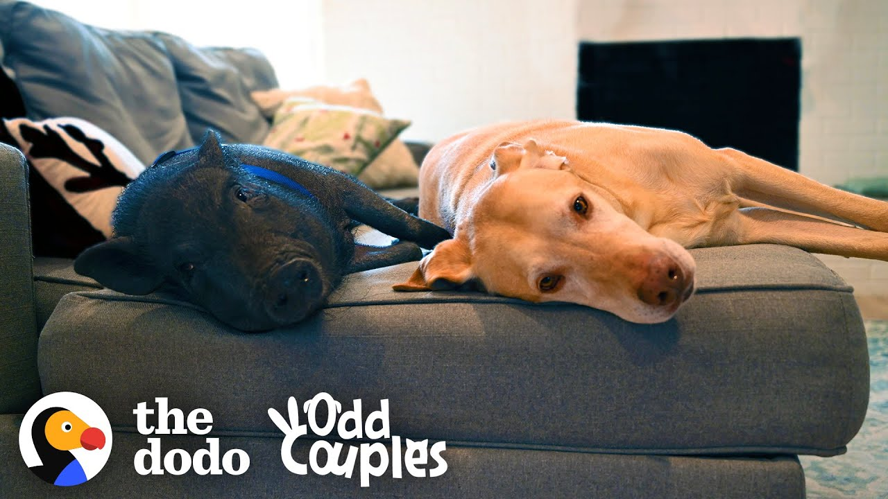 Dog and Pig BFFs Live for Their Playdates | The Dodo Odd Couples