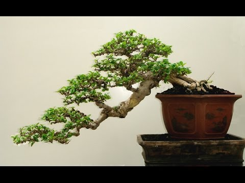Tree Species Commonly Used for Bonsai