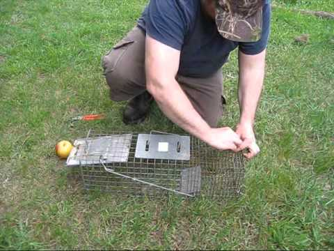 how to build a racoon box trap