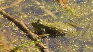 Пение озерных лягушек