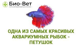 Одна из самых красивых аквариумных рыбок - Петушок. Уход,содержание и совместимость