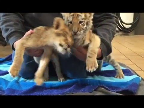 Official Video Lion and Tiger Cub Litter - Safari Off Road Adventure at Six Flags Great Adventure