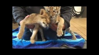Lion and Tiger Cub Safari Off Road Adventure Jan 2016