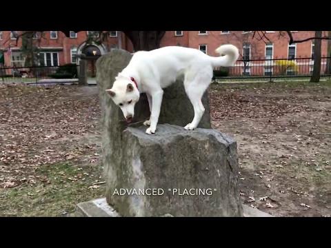 Dog Training | Husky German Shepherd Puppy Mix
