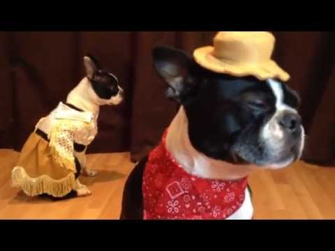 Boston Terriers Eat Spaghetti & Ride Roomba Covered Wagon