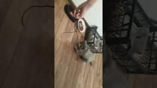 Порода Нибелунг ( русская голубая) стриженный кот Сильвестр Часть 1. Кот как собака