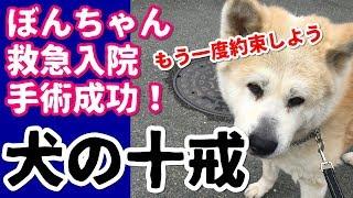 秋田犬ぼんちゃん。緊急手術で一命をとりとめました。退院前にもう一度...