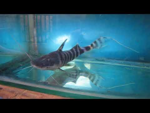 Merodontotus Tigrinus 15 Cm