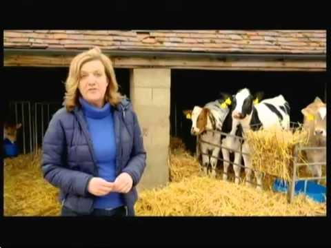 Intensive cattle farming indoors & free range milk (UK) - BBC - 3rd April 2016