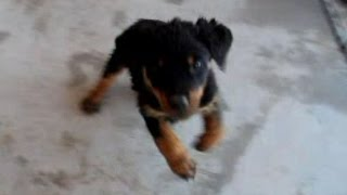 Rottweiler Puppy Dances To The Hippity Hoppity Song (puppy Is For Sale)