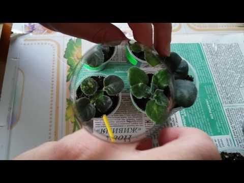 Фиалки - Коллекция Фиалок Бакалец Натали, купить фиалки