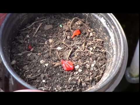 Starting Strawberries from Fresh Seeds from the Fruit