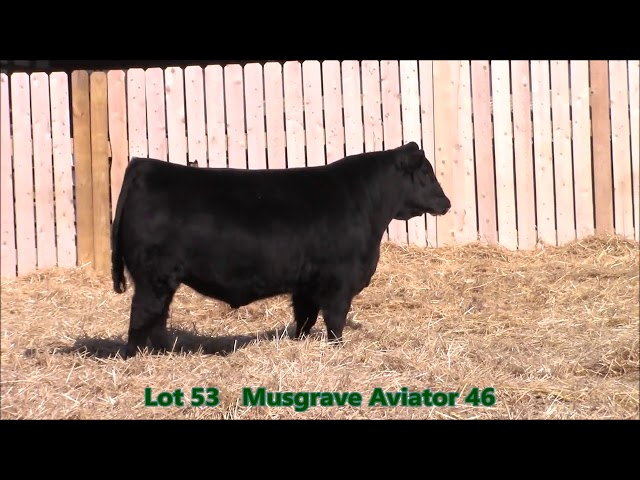 Musgrave Angus Lot 53