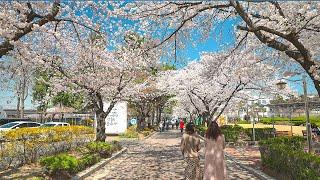 [4K HDR] Seoul Cherry Blossoms…