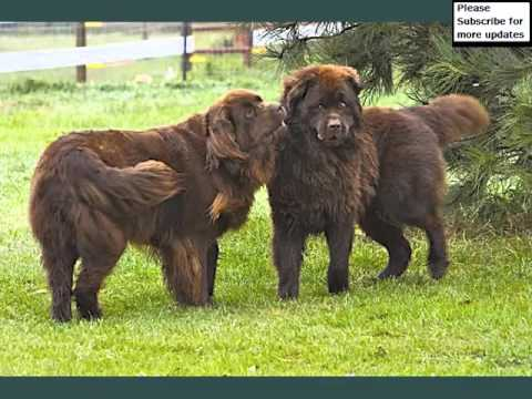 Newfoundland Dogs | Collcetion Of Dog Breed Newfoundland Pictures