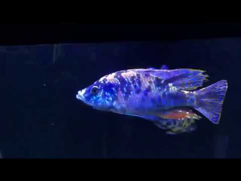 110 Gallon All Male African Cichlid Show tank