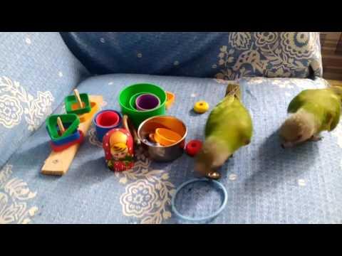 Сенегальский попугаи.Игра