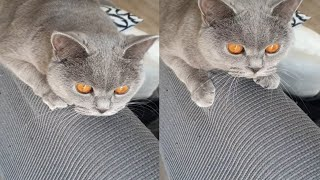 MOST LOVELY CHARTREUX CATS