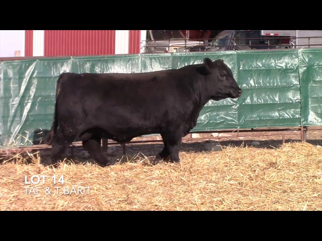 T Bar T and Taliaferro Angus Lot 14
