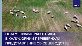 Незаменимые работники. В Калифорнии перевернули представление об овцеводстве