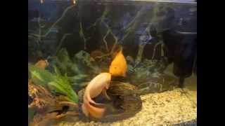 Страстные поцелуи взасос двух рыбок. Горячий секс )) 18+!