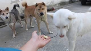 中华田园犬阿黄成精了,竟然会跟人一样吃甘蔗,还耍心机吃独食。发布中...