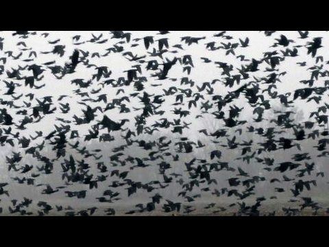 PACK OF crows flying crazy