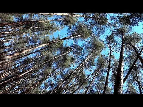 Sounds of Pine Forest [Video Quality Test Sony DSC-WX350]