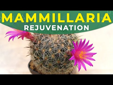 MAMMILLARIA CACTUS REJUVENATION, CARE FOR THE PLANT
