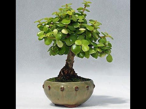 Bonsai del rbol del dinero youtube - Plantas para bonsai ...