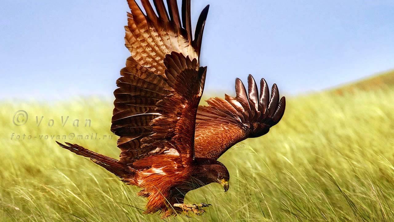 Звуки Природы. Пение птиц - Чёрный коршун - Звуки птиц.