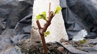 ВИНОГРАД.ФОРМИРОВКА МОЛОДОГО КУСТА(Купить тапенер для подвязки винограда http://ali.pub/9xfqs Саженцы винограда, высаженные на постоянное место, нужда..., 2014-05-09T07:10:29.000Z)