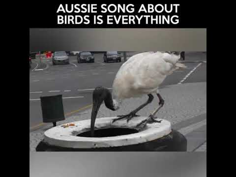 The Ibis Song! (A Song About Birds)