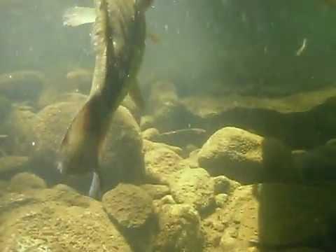 Underwater Largemouth Bass at the Quabbin Reservoir