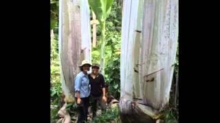 Musa Ingens , Pohon Pisang Terbesar Di Dunia ada Di Papua