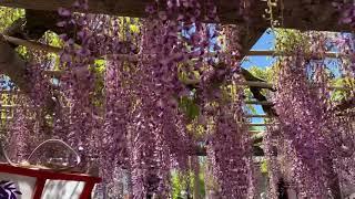 豊田熊野記念公園と隣接する行興寺境内の推定樹齢800歳の藤です。