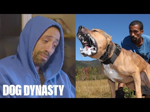 RIP Ace: Super Pitbull Killed In Horror Attack   DOG DYNASTY
