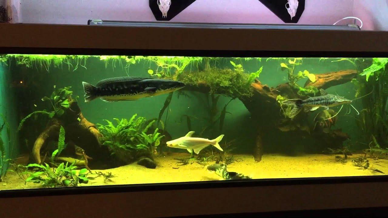1300 predator monster fish tank for Predatory freshwater fish