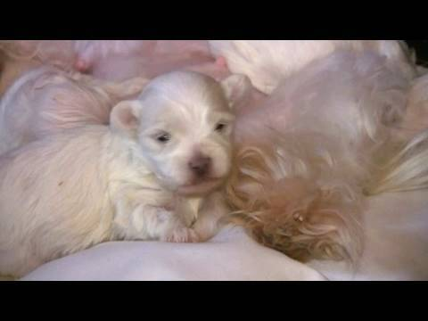 Maltese Puppies 2 Weeks Old In Hd Youtube
