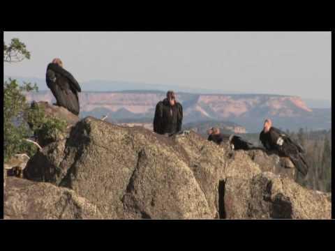 Flying giants--rare California condors return to Utah skies