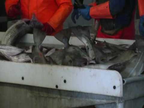 Store torsk fanget på kroge ved Nord Norge.