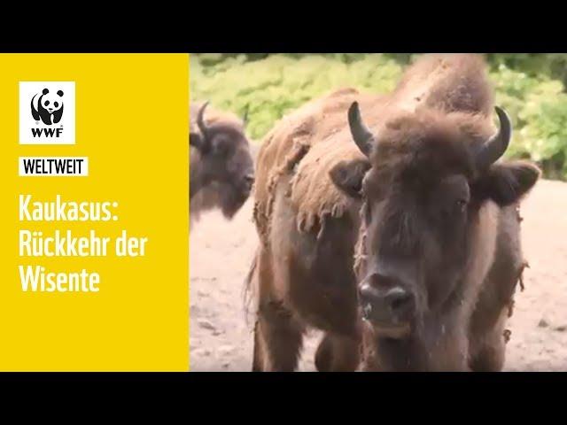 Kaukasus: Rückkehr der Wisente   WWF weltweit