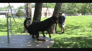 Kingston - 39 Months (schutzhund Obedience & Protection Training)