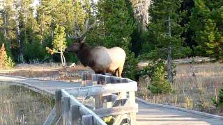 Bull elk staring me down in Yellowstone - HD