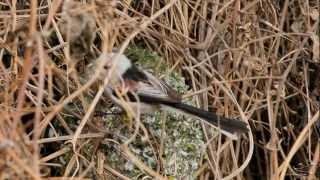Schwanzmeise - Long-tailed Tit - Aegithalos caudatus caudatus