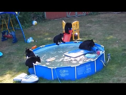 Family of bears takes a dip in new jersey backyard pool youtube for Bears in swimming pool new jersey
