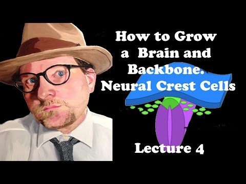 Lecture 4 How To Grow A Brain And Backbone. Neural Crest Cells
