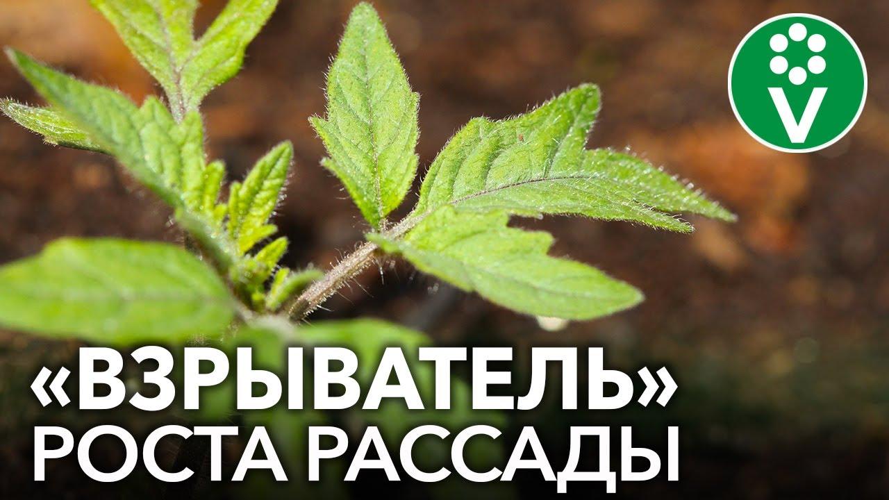 ДАЖЕ САМАЯ ХИЛАЯ РАССАДА ПОЙДЕТ В РОСТ И СТАНЕТ КРЕПКОЙ! На что способны АМИНОКИСЛОТЫ для растений?