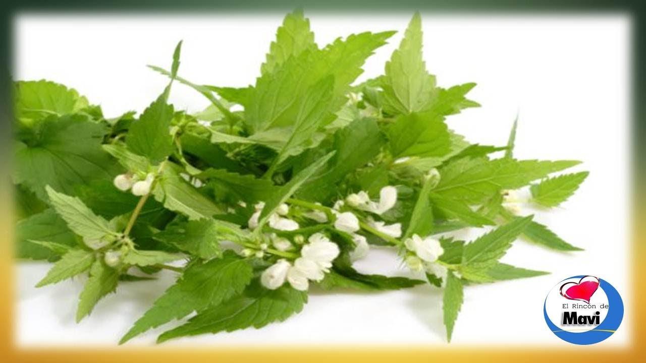 de la ortiga verde  Para que sirve la ortiga como planta medicinal